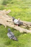 palomas en el parque zoológico fotos de archivo