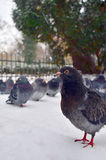 Palomas en fauna de la naturaleza del invierno de la nieve Fotografía de archivo libre de regalías