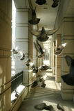 Palomas en la luz del sol imágenes de archivo libres de regalías