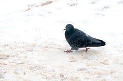 Palomas en la nieve blanca en ciudad Fotografía de archivo libre de regalías