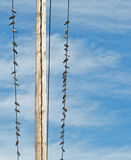Palomas en las líneas eléctricas distantes Imagen de archivo