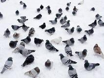 Palomas en nieve Imágenes de archivo libres de regalías