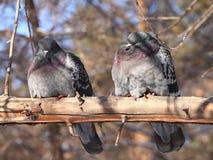 Palomas en parque del invierno Imagen de archivo libre de regalías