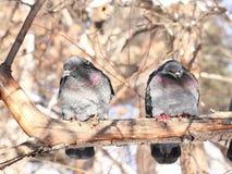 Palomas en parque del invierno Foto de archivo libre de regalías