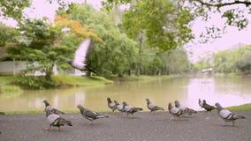 Palomas en parque público cerca de la charca natural almacen de metraje de vídeo