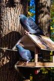 Palomas en un alimentador de los pájaros Fotografía de archivo libre de regalías