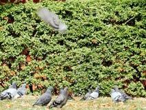 Palomas en un prado en el parque Imagenes de archivo
