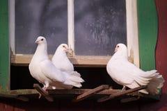 Palomas en una granja Fotografía de archivo