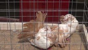 Palomas enjauladas pares en objeto expuesto de los animales almacen de metraje de vídeo