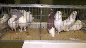 Palomas enjauladas pares en objeto expuesto de los animales metrajes
