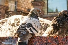 Palomas enojadas por la fuente Las palomas se bañan en el agua Fotografía de archivo