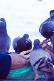 Palomas hambrientas que comen el pan de la mano humana fotos de archivo
