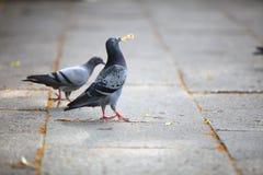 Palomas hambrientas que comen el pan en la calle imagenes de archivo