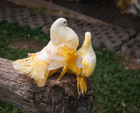 Palomas multicoloras, Koh Samui, Tailandia Imagenes de archivo