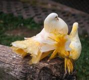 Palomas multicoloras, Koh Samui, Tailandia Fotografía de archivo