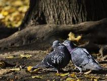Palomas, pájaros Fotografía de archivo libre de regalías