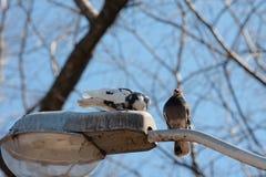 Palomas, pájaros Fotos de archivo libres de regalías