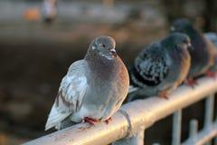 Palomas, pájaros, alas Fotografía de archivo