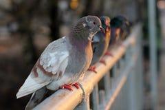 Palomas, pájaros, alas Imagen de archivo libre de regalías