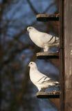 Palomas, palomas en palomar imagenes de archivo