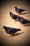 Palomas que caminan en la arena Fotos de archivo