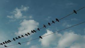 Palomas que colocan y que vuelan los alambres eléctricos almacen de video