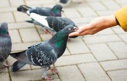 Palomas que comen de la mano del ` s de la mujer en la calle Imagen de archivo libre de regalías