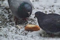 Palomas que comen el pan Fotos de archivo