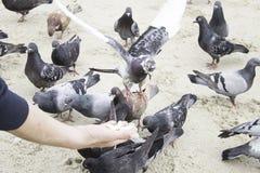 Palomas que comen la mano Fotos de archivo libres de regalías