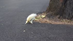 Palomas que comen la nuez