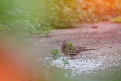 Palomas que picotean para la comida en la tierra Imagen de archivo libre de regalías