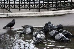 Palomas que se lavan en París Imagen de archivo