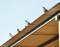 Palomas que vigilan el tejado Fotografía de archivo libre de regalías