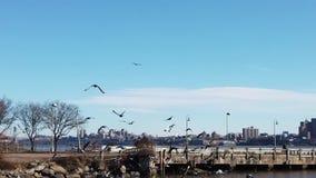 Palomas que vuelan en un paquete en la ciudad de Hudson River Facing New York almacen de metraje de vídeo