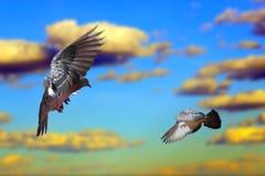 Palomas que vuelan sobre el cielo Foto de archivo libre de regalías