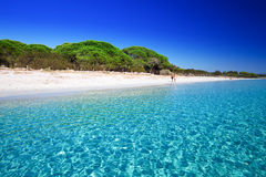Palombaggia piaskowata plaża z sosnami i lazur rozjaśniamy wodę, Corsica, Francja zdjęcie royalty free
