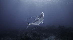Palombeta africana na água azul Imagens de Stock Royalty Free