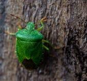 Palomena-prasina allgemeines grünes Shieldbug Stockfotografie