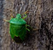 Palomena prasina Common Green Shieldbug. A large shieldbug with a dark wing membrane and reddish antennae 4th and 5th segments. Adults are bright green in the stock photography