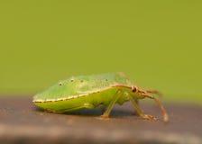 Palomena prasina larva Royalty Free Stock Images