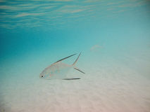 Palometa atlantique Images stock