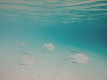 Palometa fish Royalty Free Stock Photo
