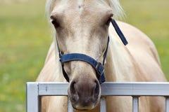 palomino лошади Стоковое Изображение