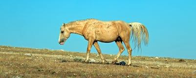 Palomino покрасил жеребца диапазона дикой лошади в ряде дикой лошади горы Pryor в Монтане Соединенных Штатах Стоковые Фотографии RF
