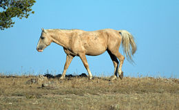 Palomino покрасил жеребца диапазона дикой лошади накаляя в солнечном свете после полудня в ряде дикой лошади горы Pryor в Монтане Стоковая Фотография