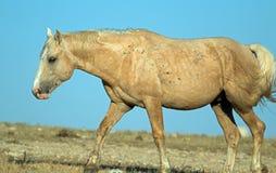 Palomino покрасил жеребца диапазона дикой лошади накаляя в солнечном свете после полудня в ряде дикой лошади горы Pryor в Монтане Стоковые Фотографии RF