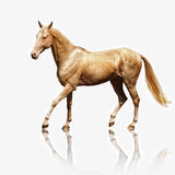Palomino Akhal-teke stock photography