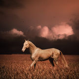 Palomino Akhal-teke Royalty Free Stock Photo