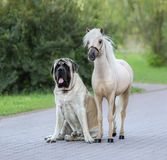 American Miniature horse standing next to Mastiff dog. Palomino American Miniature horse standing next to Mastiff dog royalty free stock image