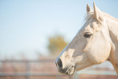 Palomino baczny koń Zdjęcia Stock